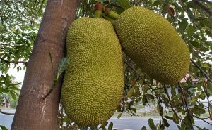 image of jack fruit growing in Sri Lanka as research for cookery class things to do in Manchester